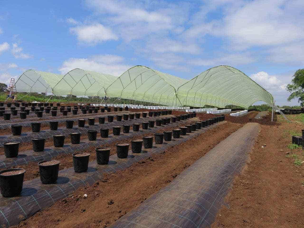 Africado, Tanazania - Installation of a trial block of blueberries