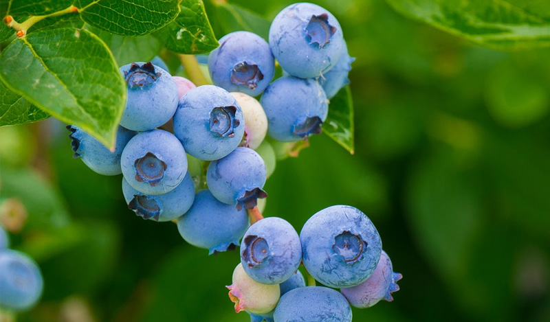 At the forefront of SA's blueberry boom as irrigation consultant and specialist